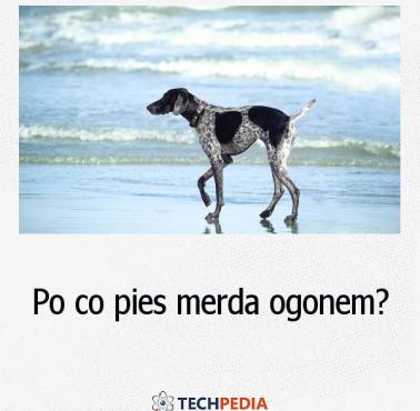 Po co pies merda ogonem?
