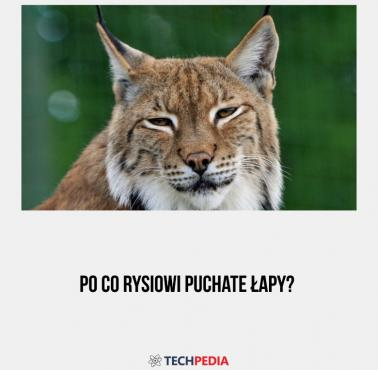 Po co rysiowi puchate łapy?