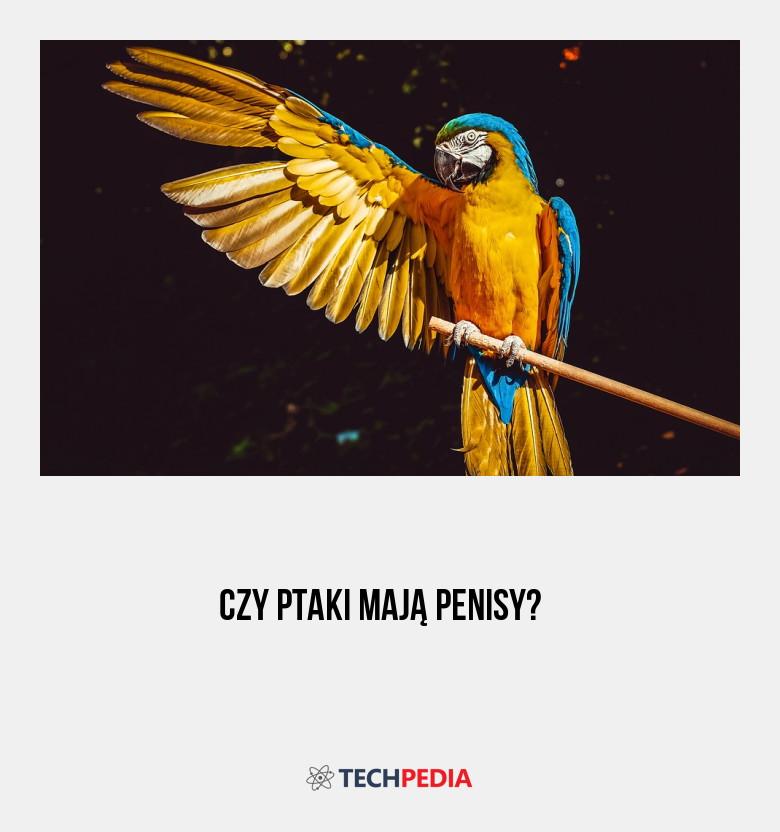 jakie ptaki mają penisa